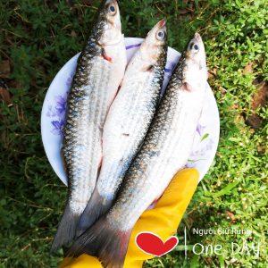 cá đối thiên nhiên được đánh bắt dưới tán rừng ngập mặn