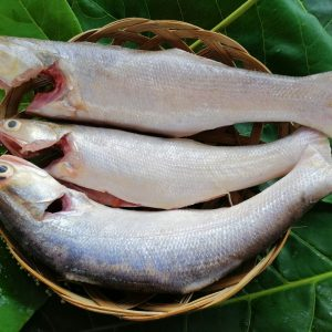 Cá chét hay còn gọi là cá nhụ